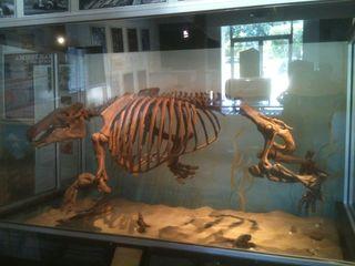 Paleoparadoxia 1